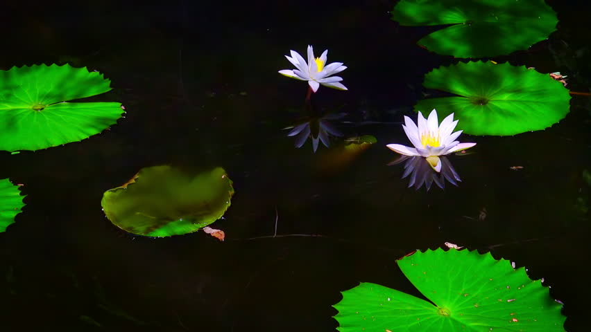 Beautiful water lily flowers at mysterious dark pond in deep tropical fantasy forest. Zooming video