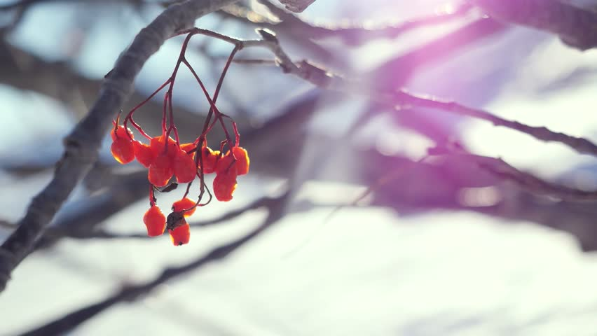 Rowan branch red berries winter beautiful nature snow on a blue background with lense flare effects   Shutterstock HD Video #25736909