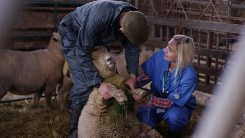 4K Vet talking to farmer & examining sheep in interior of farm building