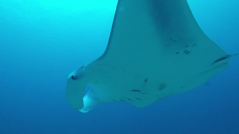 Manta Ray swimming in blue water.