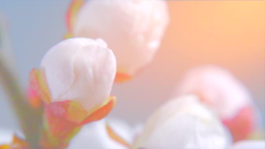 Beautiful Spring Apricot tree flowers blossom timelapse, extreme close up. Time lapse of Easter fresh pink blossoming apricot closeup. 4K UHD video 3840X2160 | Shutterstock Video #25830848