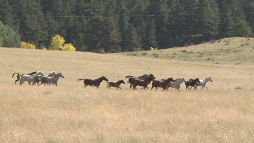 Horses Running ...