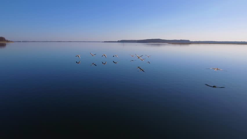 4K Aerial Geese Fly Low Over Water Part 2 Camera flying close behind a flock of geese low over the water. The water is calm, the sun is shining from a cloudless sky