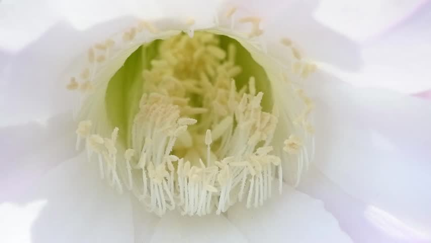Header of Echinopsis