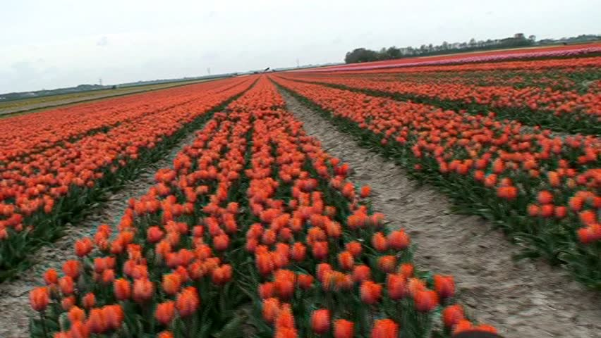 Tracking shot of a field of tulips in holland