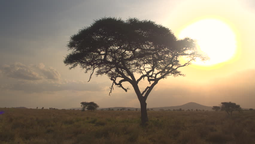 AERIAL, CLOSE UP: Flying and distancing from silhouetted acacia tree in beautiful golden light sunset in pristine African savannah wilderness. Sun setting behind the canopy penetrating lush foliage