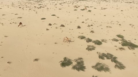 Flying over camels group in desert HD travel video. Aerial top view flight of dry sand dune nature landscape