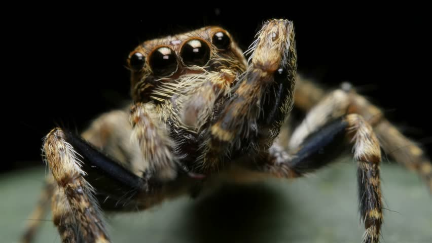 Adorable Cute Jumping Spider insect macro closeup - Salticidae