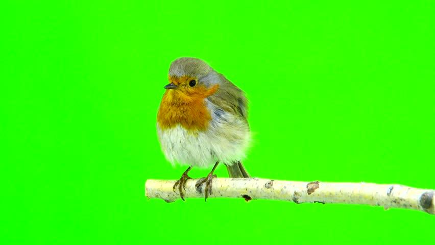 European Robin (Erithacus rubecula) isolated on green screen | Shutterstock HD Video #26155649