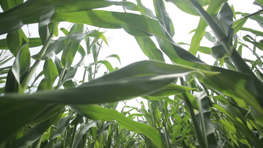 Close up dolly shot in middle of a cornfield