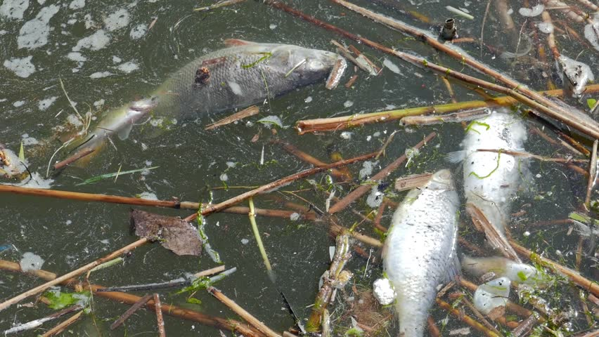 Dead fish in the water. Water pollution.