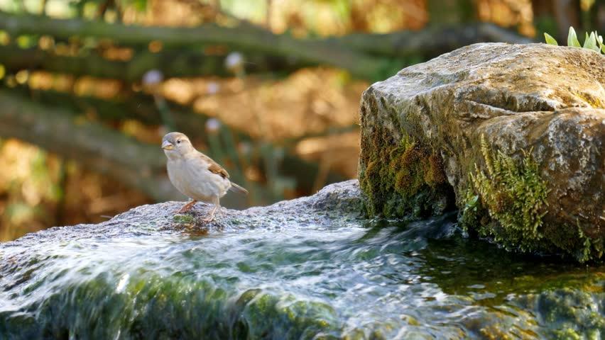 animals wildlife birds - sparrow drinking water: Stafford, England - April 2017