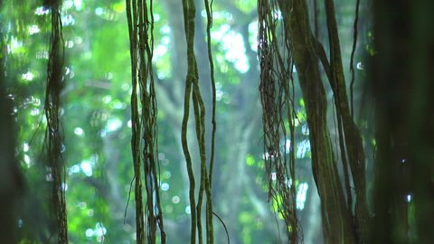 Close-up of long lianas hanging from exotic tree with bokeh around it and against dense green foliage on background. Astonishing magic of tropical rainforest in small details. Camera stays still.