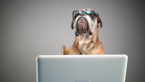 Boxer dog working on laptop and taking off eyeglasses.