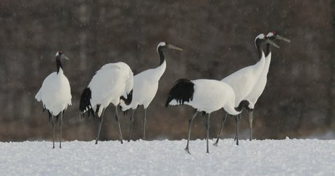 Red-crowned crane, Grus japonensis, with snow storm, Hokkaido, Japan. White bird feeding on the meadow. Winter landscape with wild animal. Wildlife scene from nature. Rare bird in the forest with snow