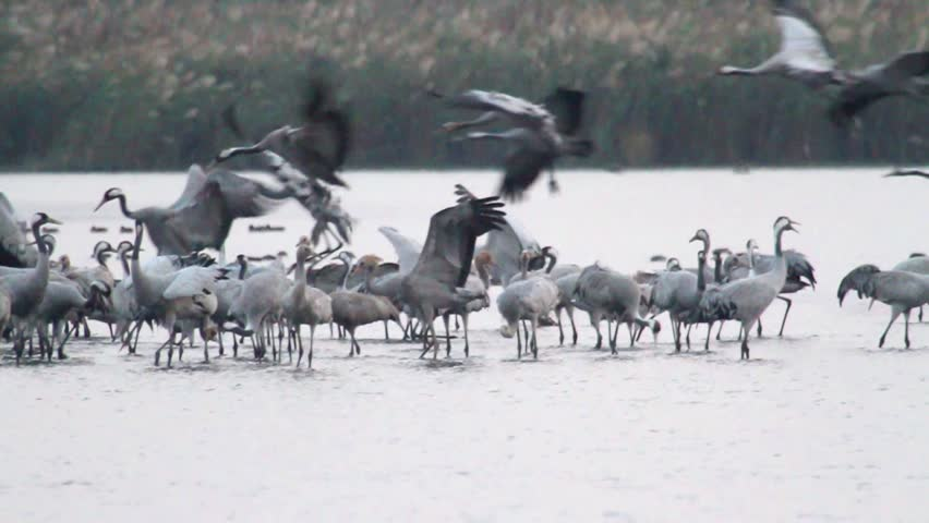 Common Crane flock in the lake of hula valley #26298329