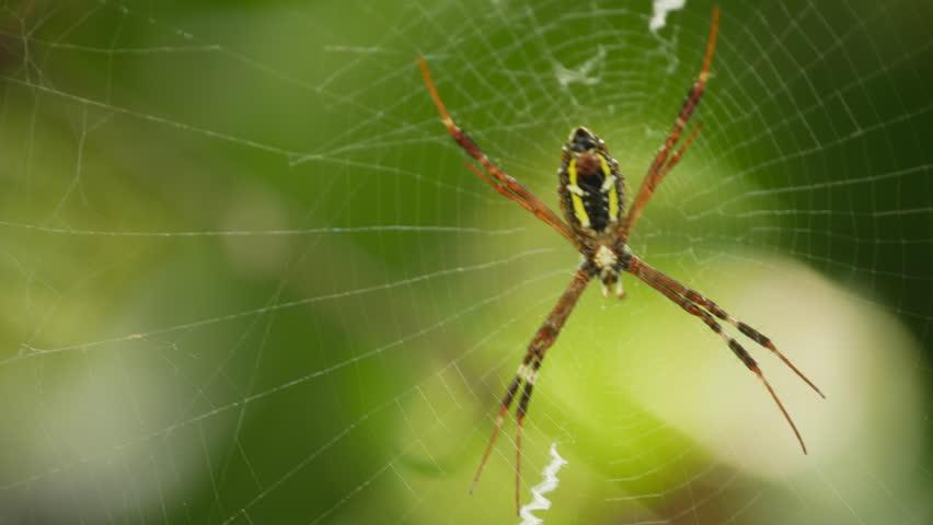 Garden spider swinging the web