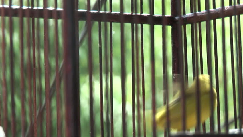small bird fluttering in cage - HD stock footage clip