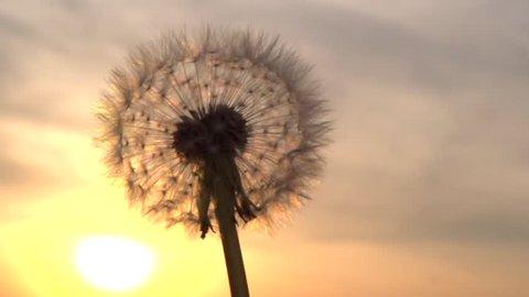 Dandelion. The wind blows away dandelion seeds. Slow motion 240 fps. High speed camera shot. Full HD 1080p. Slowmo