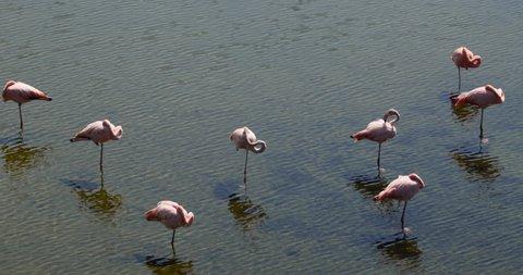 Flamingos Standing On One Foot In Lake, Galapagos Islands - Isabella Island, Galapagos Archipelago, Ecuador.