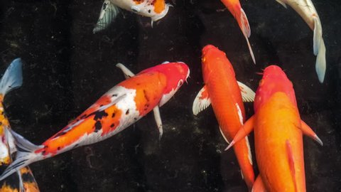 Multicoloured Koi fish swimming graceful in a water of an garden, Colorful koi fish in the pond with dark coloured ground moving around