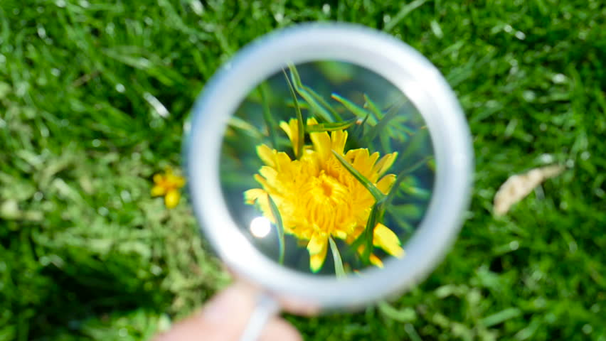 Looking close-up through magnifier on dandelion. Exploring nature in a meadow with a magnifying glass looking for flowers