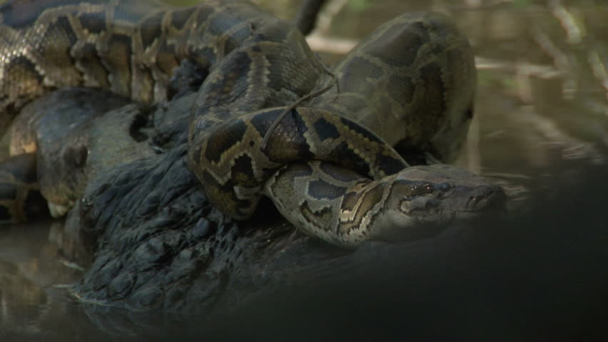 Entangled alligator and python