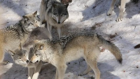 grey wolf pack being fed in zoo
