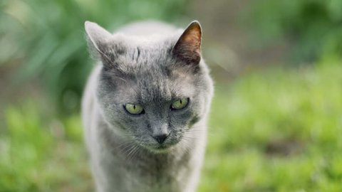 Russian Blue cat in nature