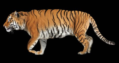Tiger running trot. Animal isolated for your background. Alpha channel is included.