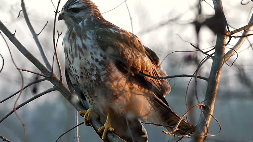 a Splendid View on a Lonely Big Brown and White Eagle Sitting in Profile on a Bare Branch in a Forest With Its Swinging Feather Some Tree Branch in a Windy and Sunny Day in Autumn, Being Shot From