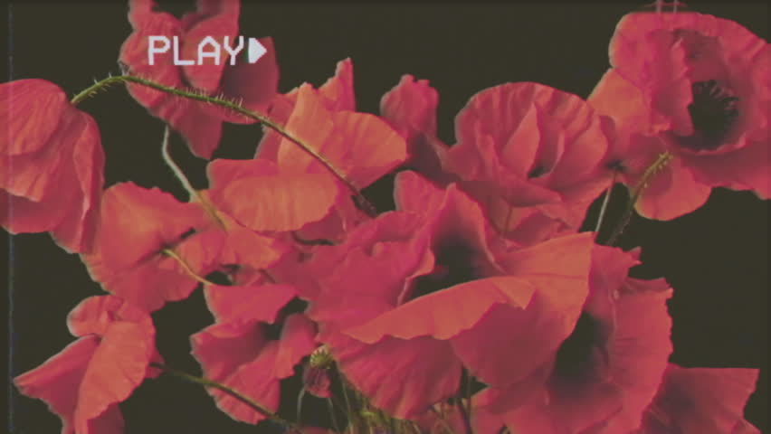 Fake VHS tape: a bunch of red poppies (spring flowers) calmly and gently shaken by the wind. Black background.  #26526389