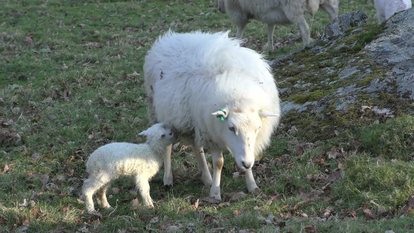Header of Ewe