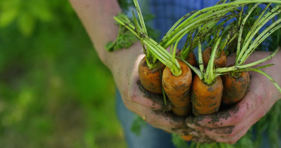 The farmer is holding a biological product of carrots, hands and carrots soiled with earth. Concept: biology, bio products, bio ecology, grow vegetables, vegetarians, natural clean and fresh product.