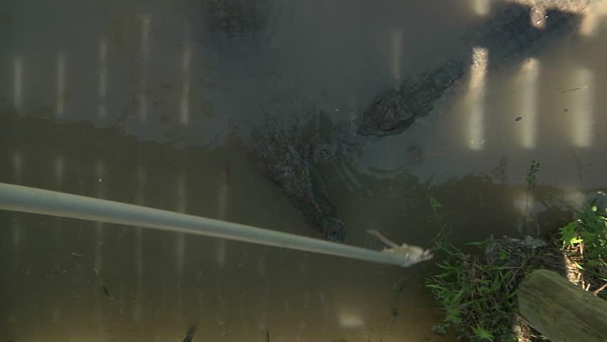 Nile crocodile with bait | Shutterstock HD Video #2661539