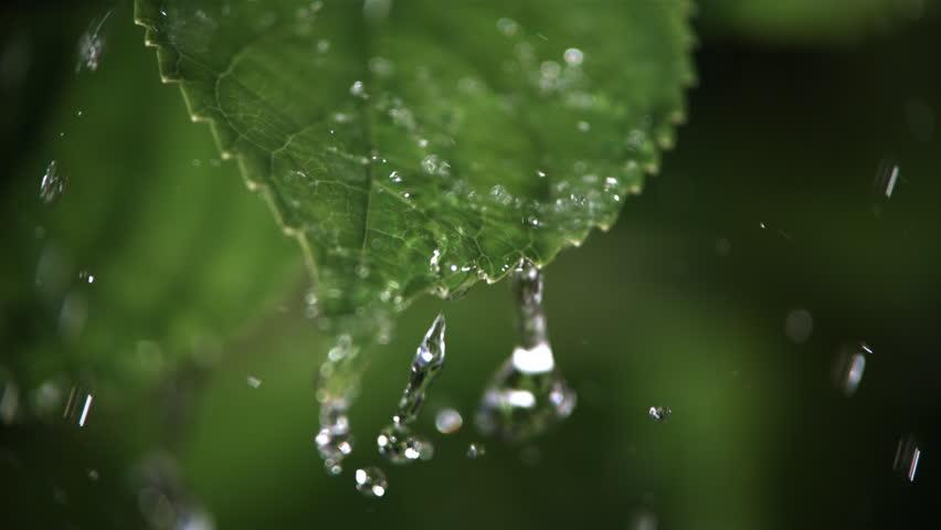 Ultra-slow motion raindrops falling on close-up serrated leaf