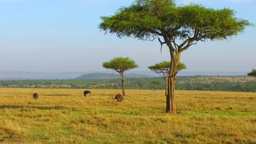 nature, birds, landscape and wildlife concept - group of ostriches and acacia trees in maasai mara national reserve savanna at africa