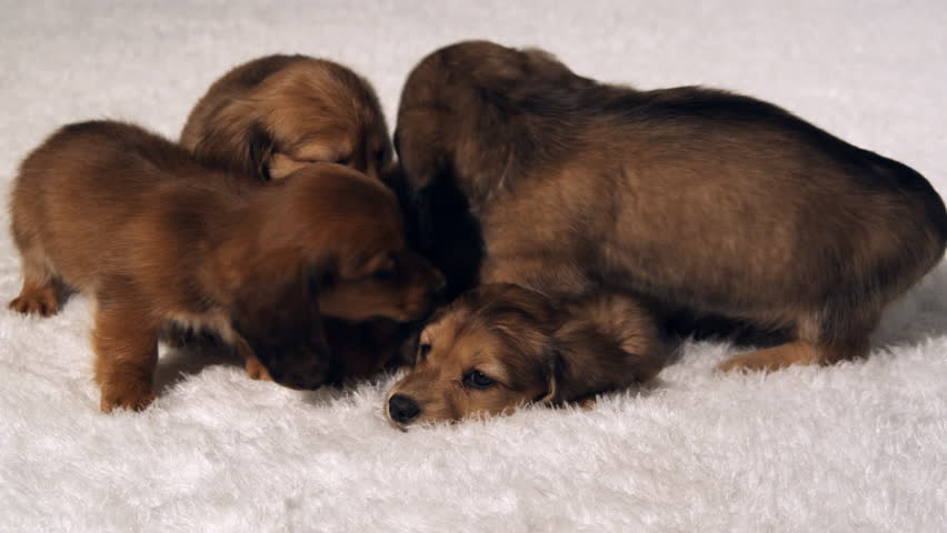 A litter of dachshund puppies snuggle on a rug