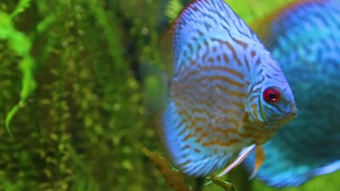 Closeup of beautiful bright blue colorful healthy discus fish swimming in aquarium water. Real time full hd video footage