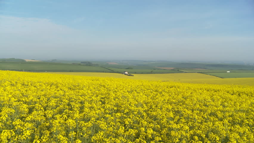 Wide shot of large rape field zooming into solitary house