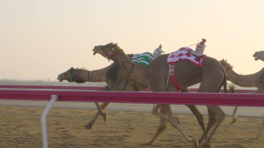 Camel race in slow motion. camel running. DOHA. Qatar