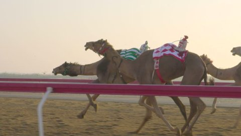 Camel race in slow motion. camel running. DOHA. Qatar