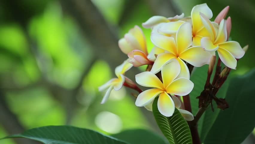 Pink, Yellow and White Plumeria Stock Footage Video (100% Royalty,free)  26752819