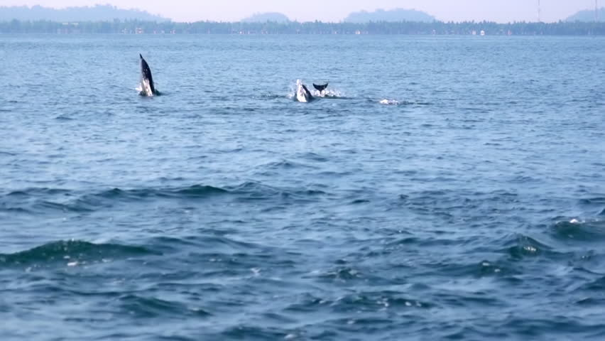 Large pod of porpoising Long-Snouted or Spinner Dolphins (Stenella longirostris) chasing tuna fish. Amazing morning scene. Wild sea animals in natural habitat. Sri Lanka. Long shot. Slow motion. | Shutterstock HD Video #26767609