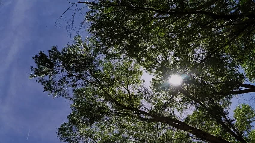 COTTONWOOD, AZ/USA: April 20, 2017- Low angle shot looking up while walking under trees and branches. Sun beams can be seen shining through  the leaves with violet blue tinted sky behind.