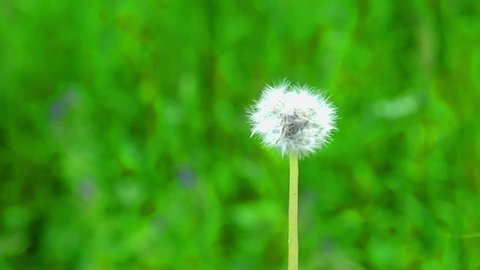 Puffball Flower Stock Video Footage 4k And Hd Video Clips