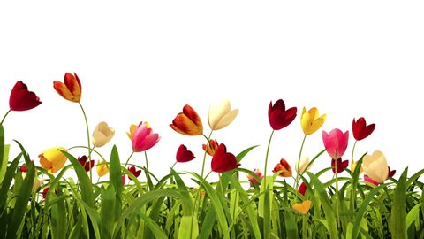 Colorful tulips with alpha channel