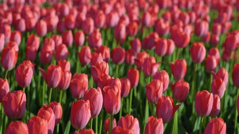 Tulips blossomed. Fresh flowers tulips swaying in the wind. A large number of tulips with pink buds create a pink field. The evening sun beautifully illuminates tulips. Sunny spring evening.