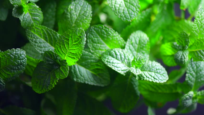 Mint. Fresh mint leaf background closeup. Growing organic mint close up. Rotation 360. 4K UHD video footage 3840X2160.