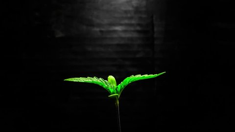 Marijuana Plant Growing Time Lapse Isolated on a Black Background